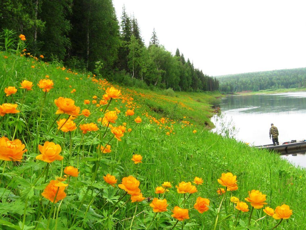 Огоньки « Цветы Сибири « Природа ...: etosibir.ru/ogon-ki