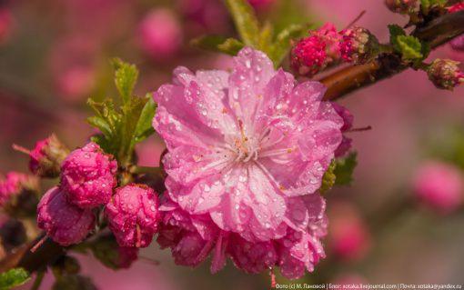 Цветение сакуры, Фото