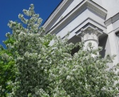 Омск. Май. Яблони цветут.  фото: Валентина Звягина