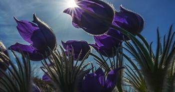 Сон-трава, Краснощёковский район, Алтайский край, Фото