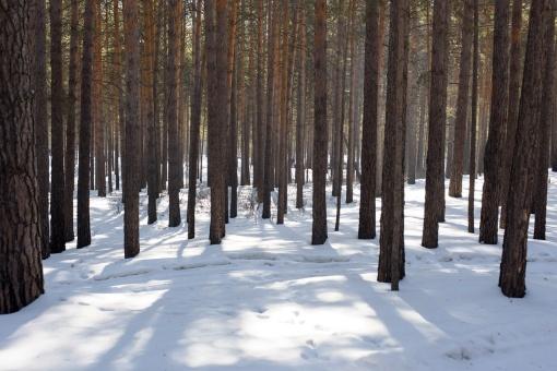 Сибирь, лес, Фото