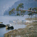 Поклонная сосна на озере