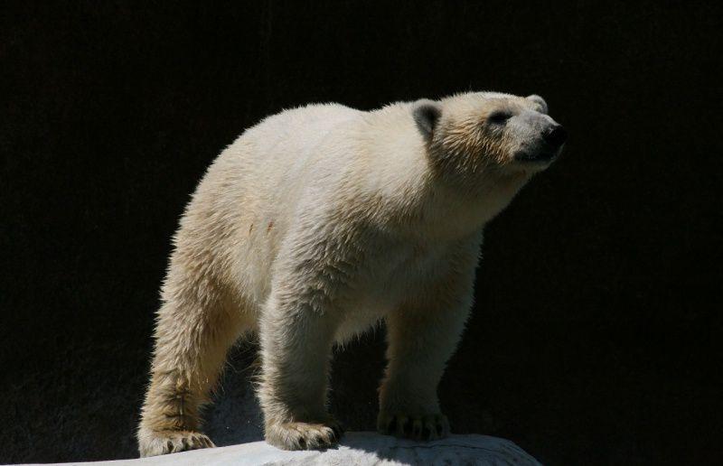 Белая медведица Шилка
