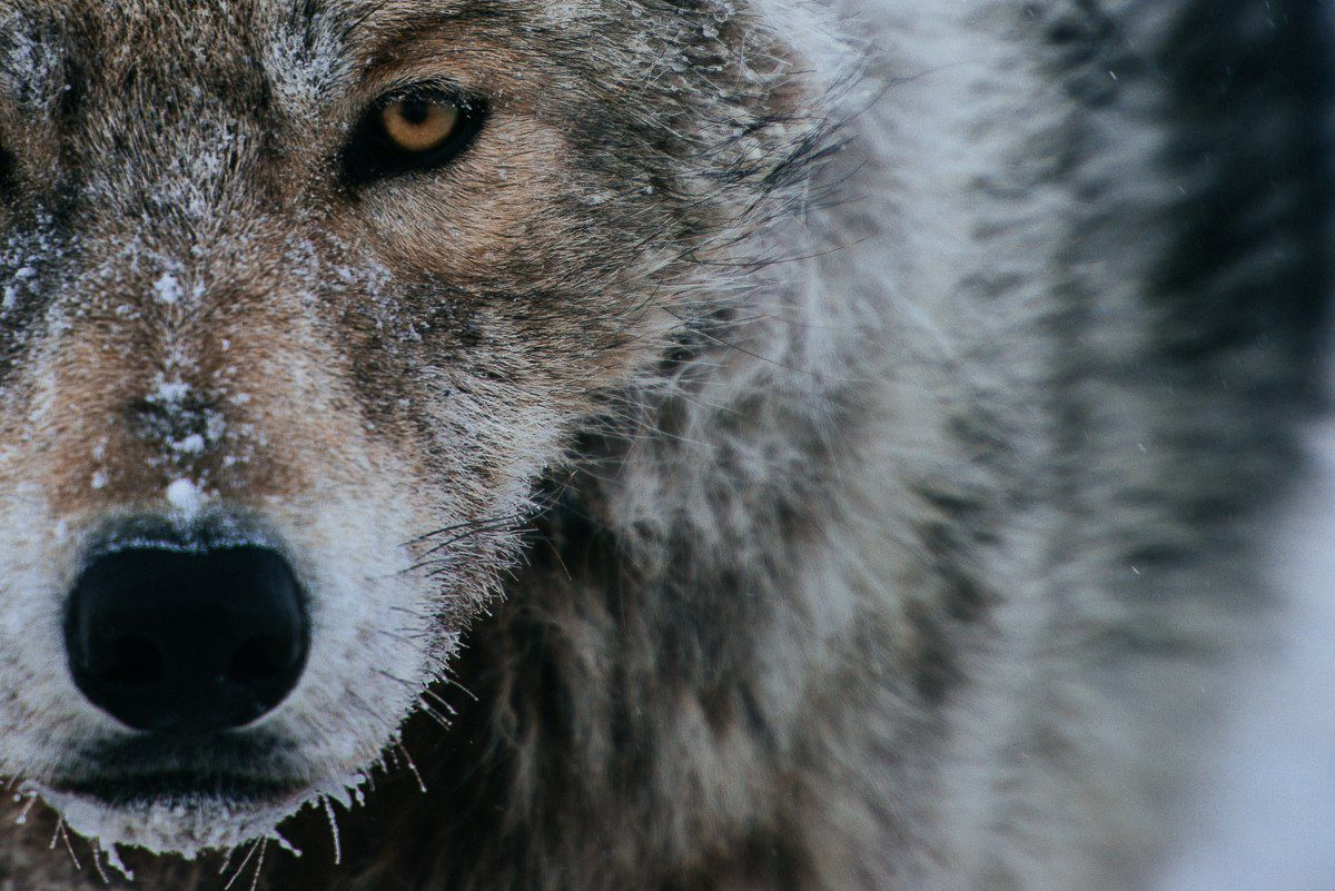 Полярный волк, Чукотка.
