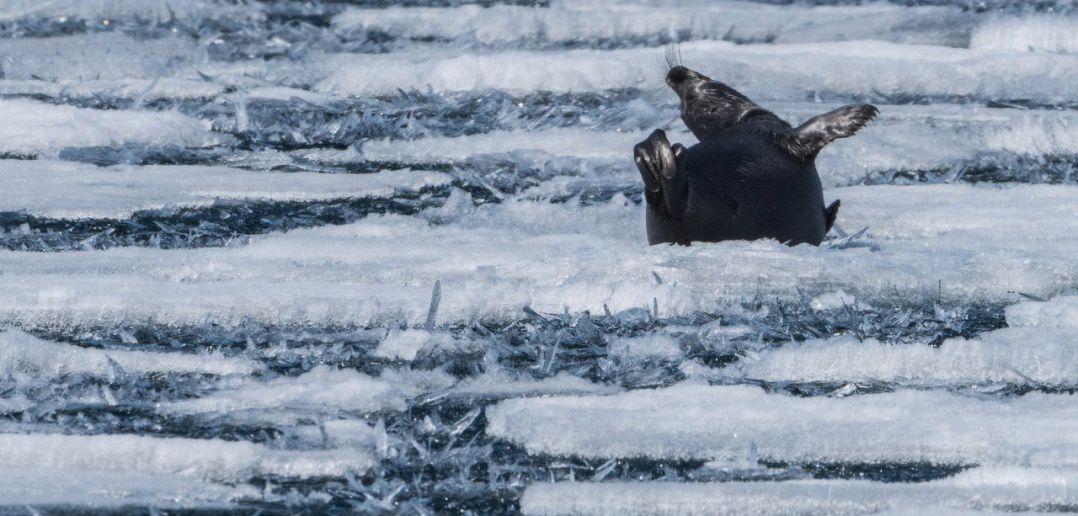 Байкал, нерпы, Фото