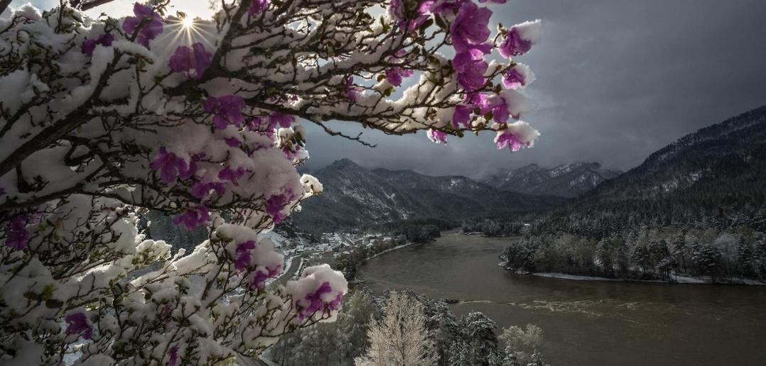 Рододендрон Ледебура, Чуйский тракт, Алтай, Фото