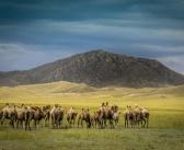 Выпас верблюдов в живописном местечке Бай-Даг в Тыве.   фото: Михаил Кутявин