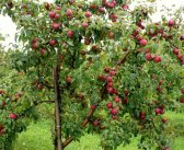 Какие фруктовые деревья успешно выращивают в Сибири