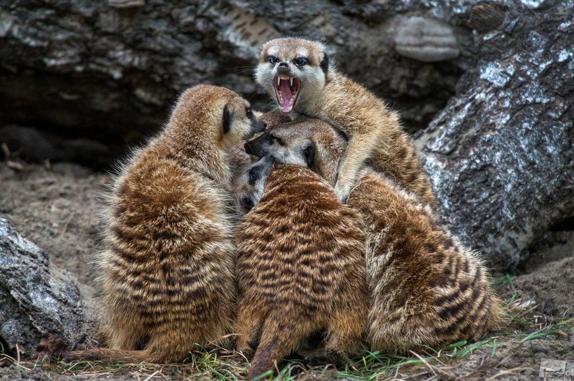 Сурикаты греются в Новосибирском зоопарке.