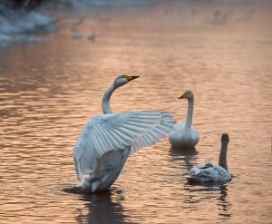 Лебеди, Озеро, Алтайский край, Фото